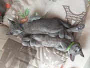Russisch Blau Kitten
