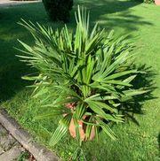 Trachycarpus Fortunai Hanfpalme
