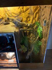 Kronengeckos mit Terrarium