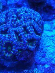 Viele Korallen zur Abgabe sps