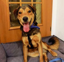 Ray lieber Rüde 12 Monate Schäferhund Labrador Mix.