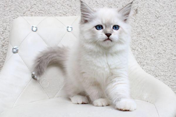 Sibirische Katze Neva Masquarade Kitten