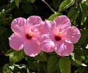 große Zimmerpflanze Hibiskus rosa
