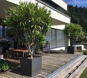 Oleander Bäume zu verkaufen