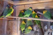 Agaporniden Personata Zuchtqualität 5 Vögel