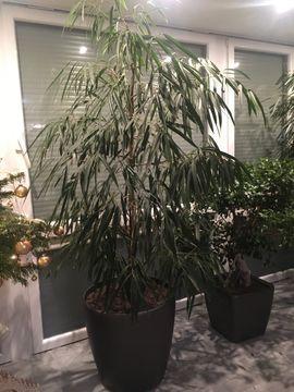 Pflanzen - 2x Ficus und 1x Bonsai