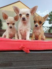 3 Chihuahuas Rüden Beige Weiss