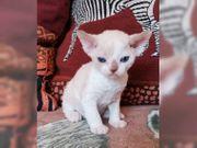 Devon Rex Katze suchen ein
