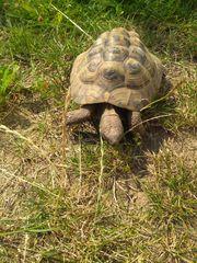 Griech Landschildkröte mit stolzen Alter