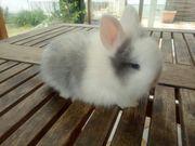 Farben Zwerg Kaninchen Babys abzugeben