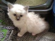Ragdoll Kitten Blue mitted und