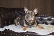 Französische Bulldoggen Deckrüde
