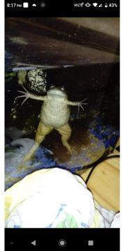Krallenfrosch