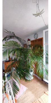 Zimmer Palme XXL