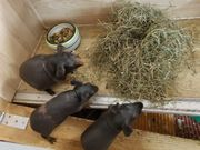 Hübsche Baby Meerschweinchen Skinny Pig