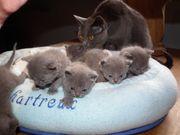 Reinrassige Kartäuser Chartreux Kitten