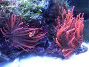 Meerwasser Clownfisch Nemo mit Anemone