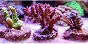 Meerwasser Acropora Set