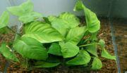 Anubias barteri Mutterpflanze XL auf