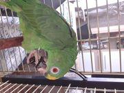 Verkaufe einen Gelbscheitelamazone Papagei