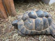 2 Maurische Landschildkröten weiblich 2002