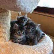 Drei Norwegische Waldkatzen Babys warten