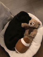 schwarzer Labrador Welpe 9 Wochen