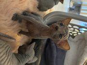 Zucker süße Sphynx Kitten