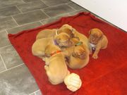 Bordeaux Doggen Welpen abzugeben