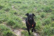 Chihuahua-Mix Blackie ca 4 Jahre