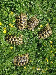 Weibliche Griechische Landschildkröten THB