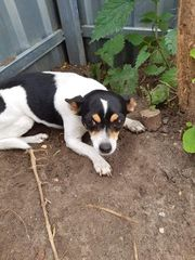 Lady Chihuahua 3 Jahre