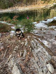 Süßes Pomeranian Zwergspitz Welpen Mädchen