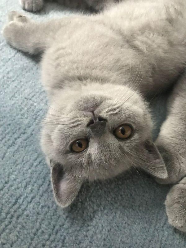 BKH-Kitten Blue Britisch Kurzhar Kitten-Junge