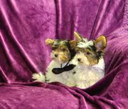 Extra Mini Biewer Yorkshire Terrier