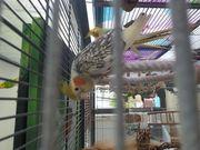 Schöne Vögel Nymphensittiche und Wellensittich