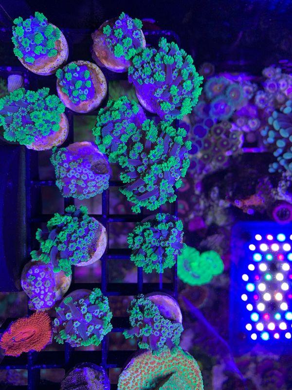 Alveopora grün - Korallen - Meerwasseraquarium