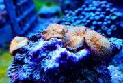 Meerwasser Rhodactis Superman pro Polyp 19