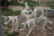 Siberian Husky Welpen - Junghunde