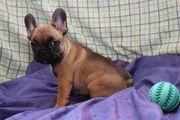 Französische Bulldogge In sehr schöner