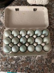 Celadon Wachteln Eier und normale