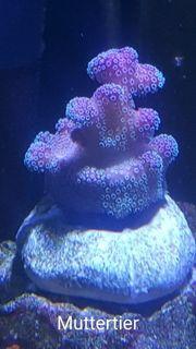 Meerwssser Korallen Ableger