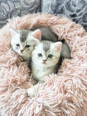 3 reinrassige BKH Kitten Männchen