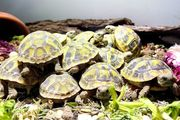 Griechische Landschildkröten THB geb 2020