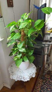 Flowerbox Zimmerpflanze Epipremnum aureum