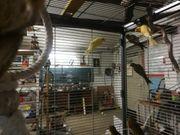 Junge Kanarienvögel 17 Stück