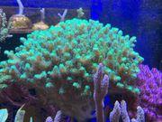 Korallen Ableger Korallenableger - Große Auswahl