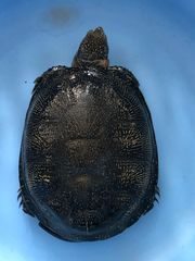 Europäische Sumpfschildkröte weiblich zu verkaufen