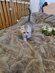 Scottisch Fold Katzenbaby Kitten Impfpass