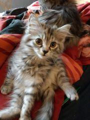 Miau Tiggi Maine Coon Kätzchen